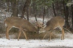 在清早秋天光的车轮痕迹期间一头白被盯梢的鹿顽抗战斗与另一个大型装配架 图库摄影