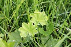 在清早草的露珠在夏天在村庄 库存照片