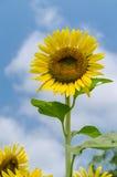 在清楚的天空的向日葵 免版税库存图片