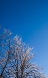 在清楚的天空的明亮的结冰的树 库存图片