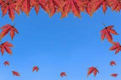 在清楚的天空的槭树 免版税库存图片