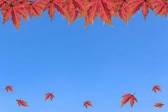 在清楚的天空的槭树 免版税库存照片