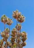 在清楚的天空的高干燥棕榈树 库存图片