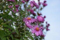 在清楚的天空的紫色花 库存图片