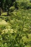 在清楚的晴朗的天气的莳萝丛林 图库摄影