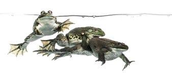 在清楚的水下的三只青蛙,被隔绝 库存照片
