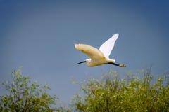 在清楚的蓝天的小白鹭飞行 库存图片