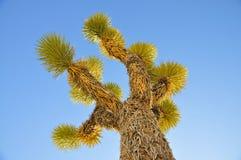 在清楚的蓝天的约书亚树 图库摄影