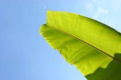 在清楚的蓝天的香蕉绿色叶子 免版税库存照片