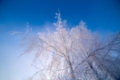 在清楚的蓝色梯度天空背景的稀薄的冷淡的桦树分支在freexing的冬天白天 免版税库存图片