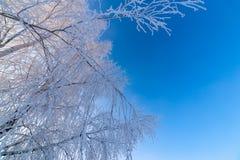 在清楚的蓝色梯度天空背景的稀薄的冷淡的桦树分支在freexing的冬天白天 免版税库存照片