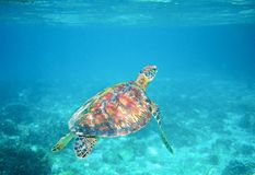 在清楚的蓝色海水的海龟 绿浪乌龟特写镜头 热带珊瑚礁野生生物  免版税图库摄影