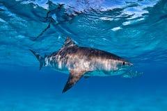 在清楚,浅水区与一个可看见的勾子和钓丝的虎鲨游泳在他们的嘴捉住了 库存图片