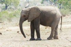 在清洁的小的大象身分在公园 免版税库存图片