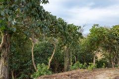 在清洁的边缘的叶茂盛绿色树 免版税库存图片