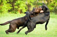在清洁跑的两条狗 免版税库存图片