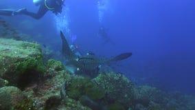 在清洁驻地的被察觉的鹰Aetobatus narinari在太平洋加拉帕戈斯群岛 股票视频
