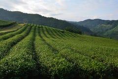 在清莱泰国亚洲附近的茶领域 免版税库存照片