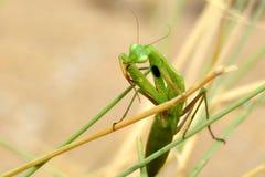 在清洗它的前面尖刻的腿的干茎的欧洲螳螂螳螂Religiosa 免版税图库摄影