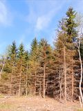 在清洁边缘的圣诞树,烧由太阳 库存图片