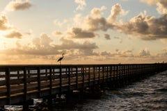 在渔码头的白鹭在日出 库存图片