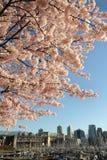 在温哥华的樱花 免版税库存照片