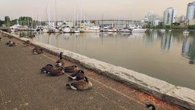 在温哥华防波堤的加拿大鹅 股票视频