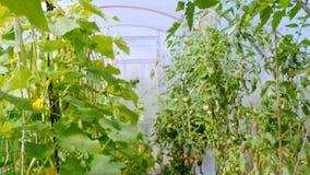 在温室植物中为食物增长 影视素材