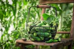 在温室的新鲜和生物黄瓜 免版税库存图片