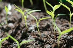 在温床关闭的年幼植物胡椒 免版税库存图片