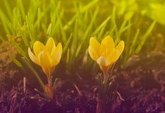 在温暖的光的两朵黄色番红花 免版税库存图片