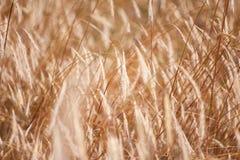 在温暖的夏天太阳的麦子钉 图库摄影