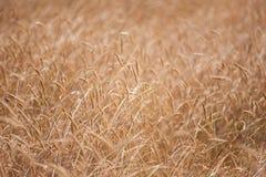在温暖的夏天太阳的麦子钉 免版税库存照片