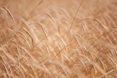 在温暖的夏天太阳的麦子钉 库存照片