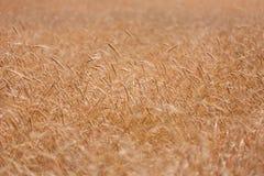 在温暖的夏天太阳的麦子钉 免版税库存图片