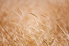 在温暖的夏天太阳的麦子钉 库存图片