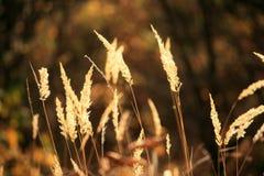 在温暖的日落的金黄草钉 免版税库存照片