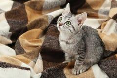 在温暖的格子花呢披肩的美丽的猫 免版税图库摄影