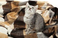 在温暖的格子花呢披肩,关闭的美丽的猫 免版税库存图片