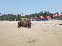 在温暖的沙子的母牛 免版税图库摄影