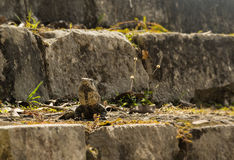 在温暖的石头的鬣鳞蜥太阳  库存图片