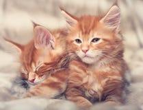 在温暖的空白盖的两只美丽的红色坚实缅因浣熊小猫 免版税图库摄影