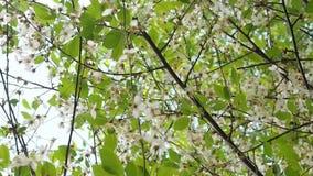 在温暖的美丽的开花的樱桃树,春天阳光 股票视频