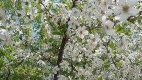 在温暖的美丽的开花的樱桃树,春天阳光 股票录像