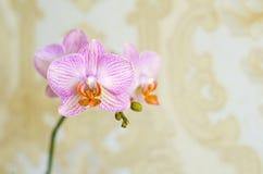 在温暖的金黄背景的一朵嫩桃红色兰花 有文本的一个地方照片的 库存图片