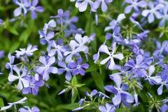 在温暖的阳光下开了花浅紫色的花勿忘我草 库存照片