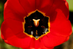 在温暖的阳光下红色郁金香开了花 免版税图库摄影