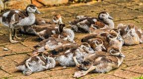 在温暖砖铺延长的鸭子 免版税库存照片