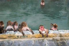 在温泉函馆,日本在参议员的,日本雪猴子短尾猿 库存照片
