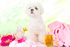 在温泉的小犬座 免版税图库摄影
